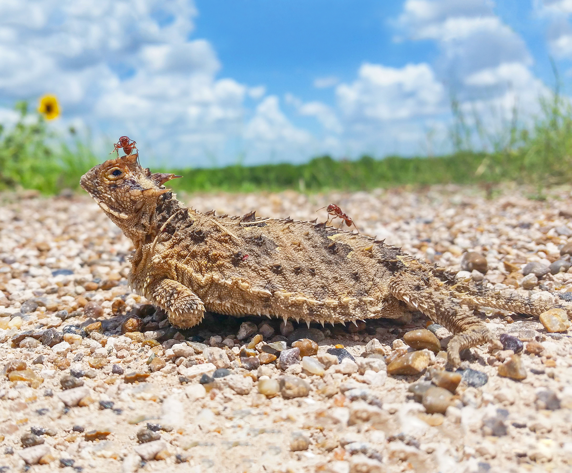 14. Horned Lizard (horned toad), road side Mission, Texas