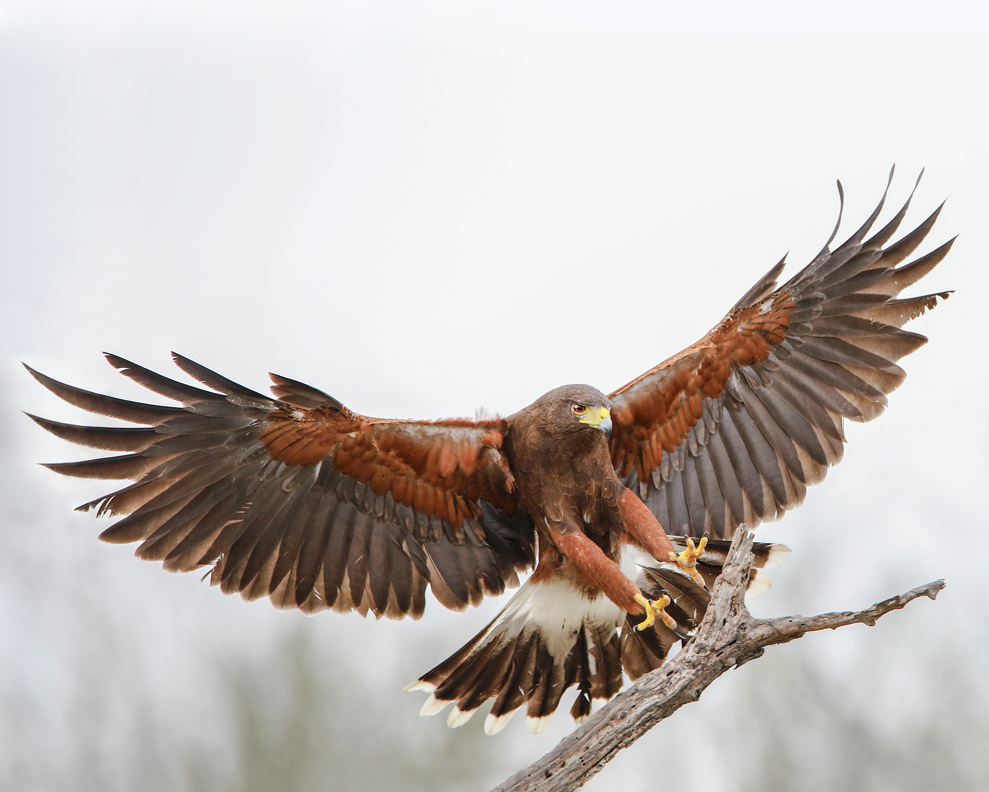 17. Harris Hawk, off Martin Refuge, Mission, Texas