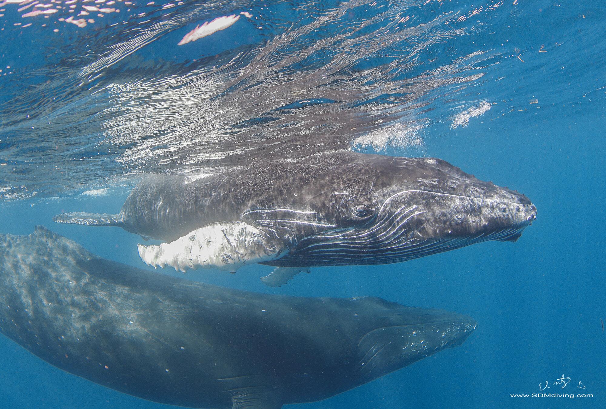 Tonga Humpback Whales