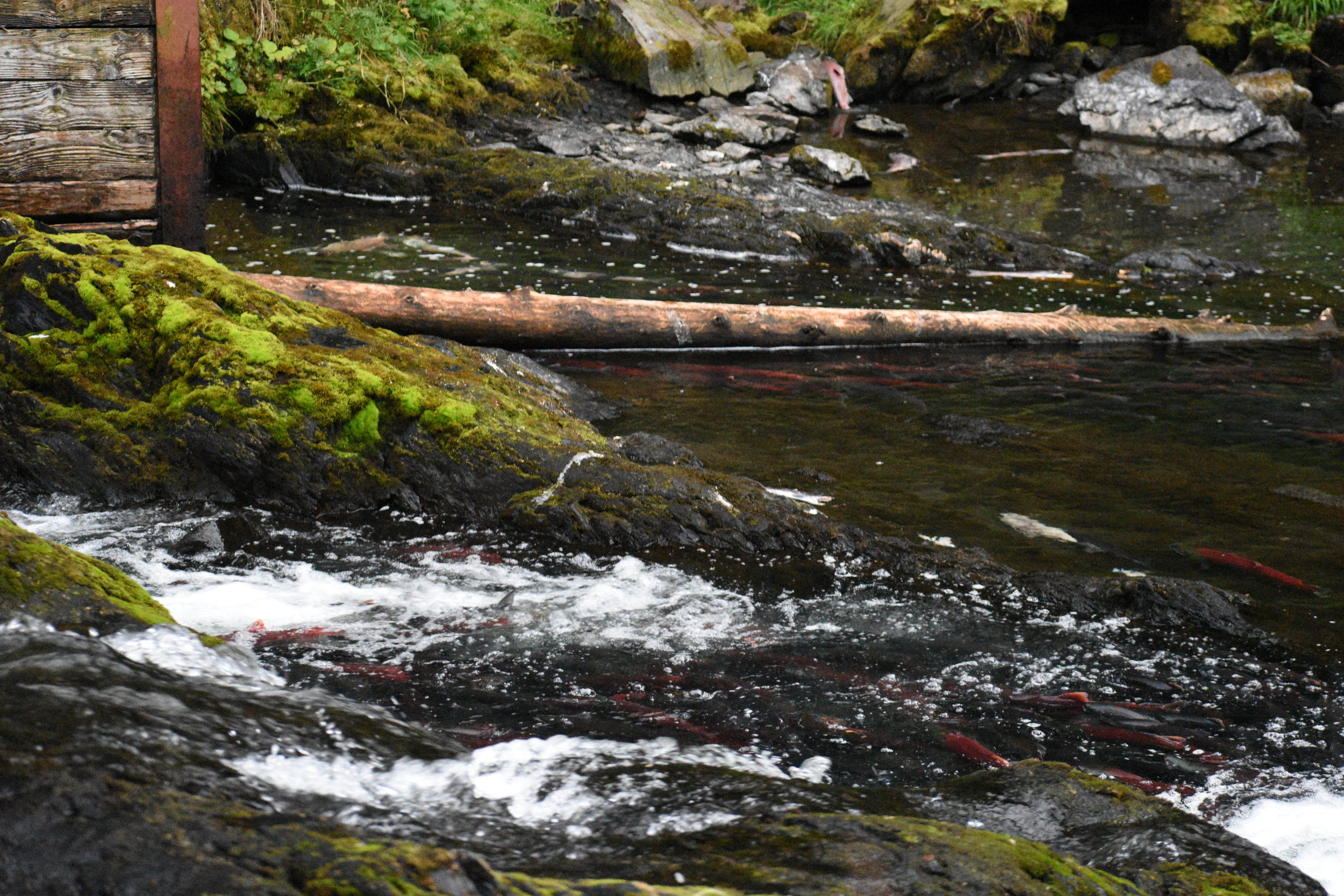 How many Sockeye Salmon can you count?