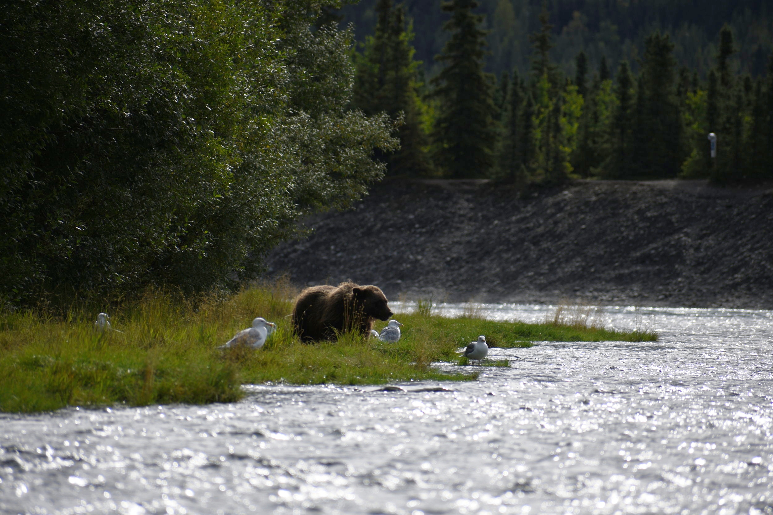 This little bear could be spotted routinely on the banks of the    Upper Kenai    during the 2017 season.