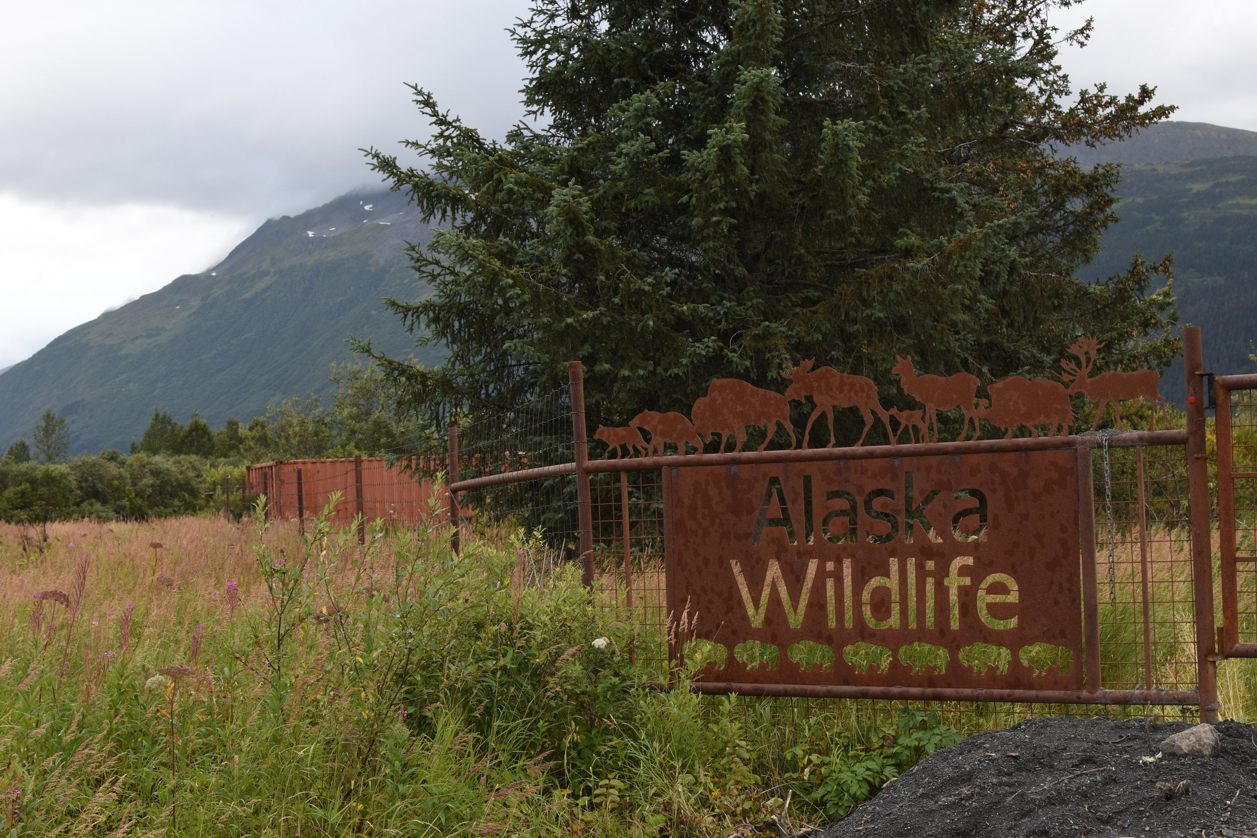 A short drive from Girdwood, you'll find the Alaska Wildlife Conservation Center, home to injured and displaced animals that offer visitors an up-close view of some of the many animals that roam Alaska.