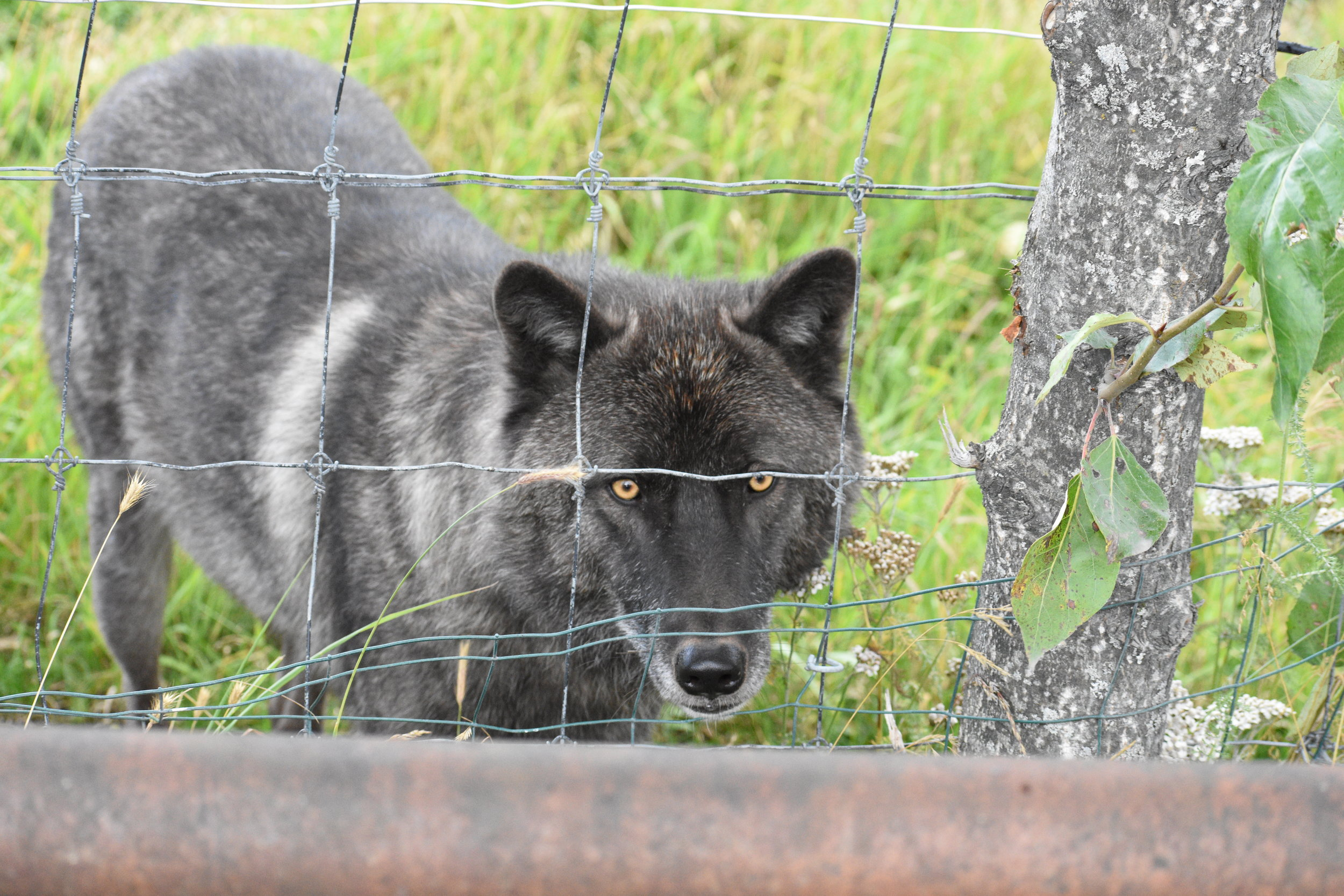 Not all species of wolves at the Alaska Wildlife Conservation Center are native to Alaska, but Lothario a black-phase Gray Wolf has ancestral ties to Alaska and gives a stunning up-close view of these majestic animals.