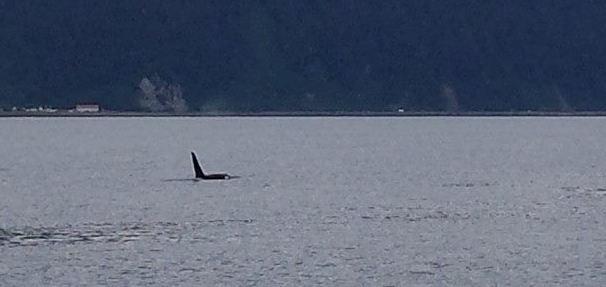 We spotted a pod of killer whales minutes after our boat departed from the Seward port.