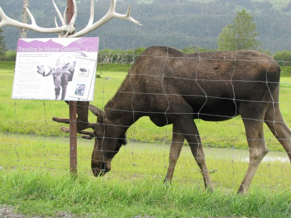 Moose are very common in Alaska, but sometimes they are just plain hard to see on your vacation. A ride through the Alaska Wildlife Conservation Center gives visitors a great chance to see them up close and watch their behaviors.