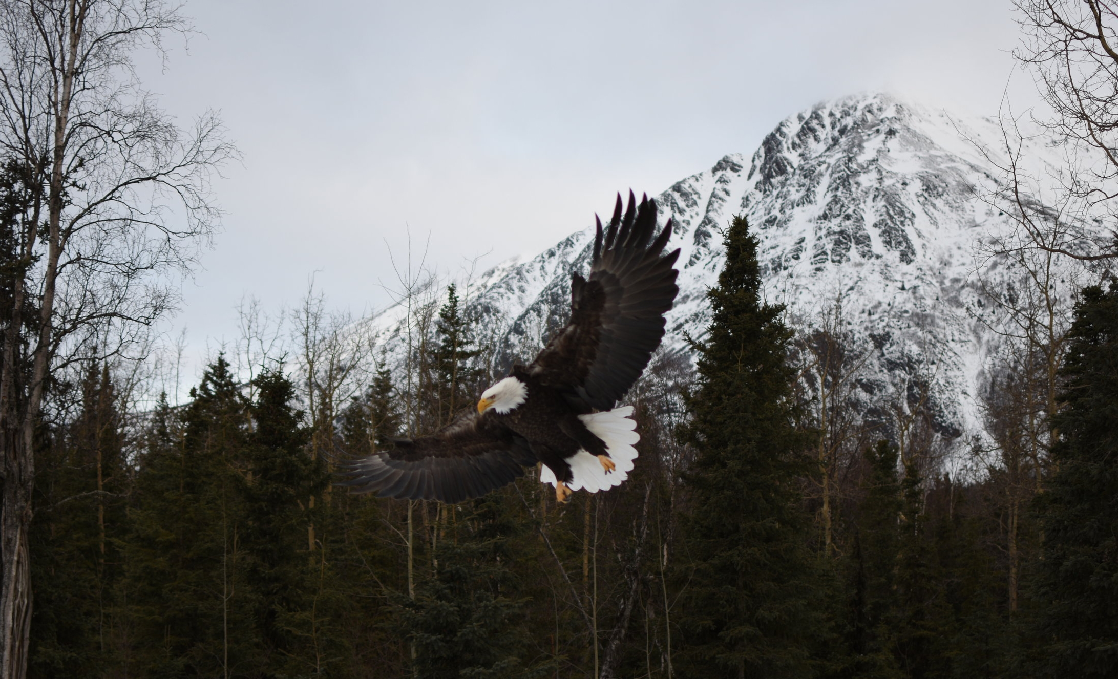 A Bald Eagle swoops down to feed on the shore of the Kenai River.