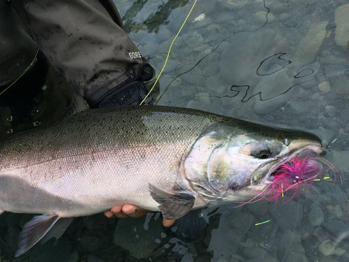 A gorgeous Silver slammed the fly!