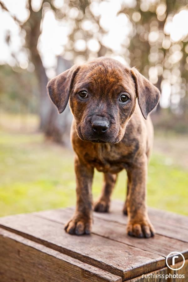 staffy-puppy-4.jpg
