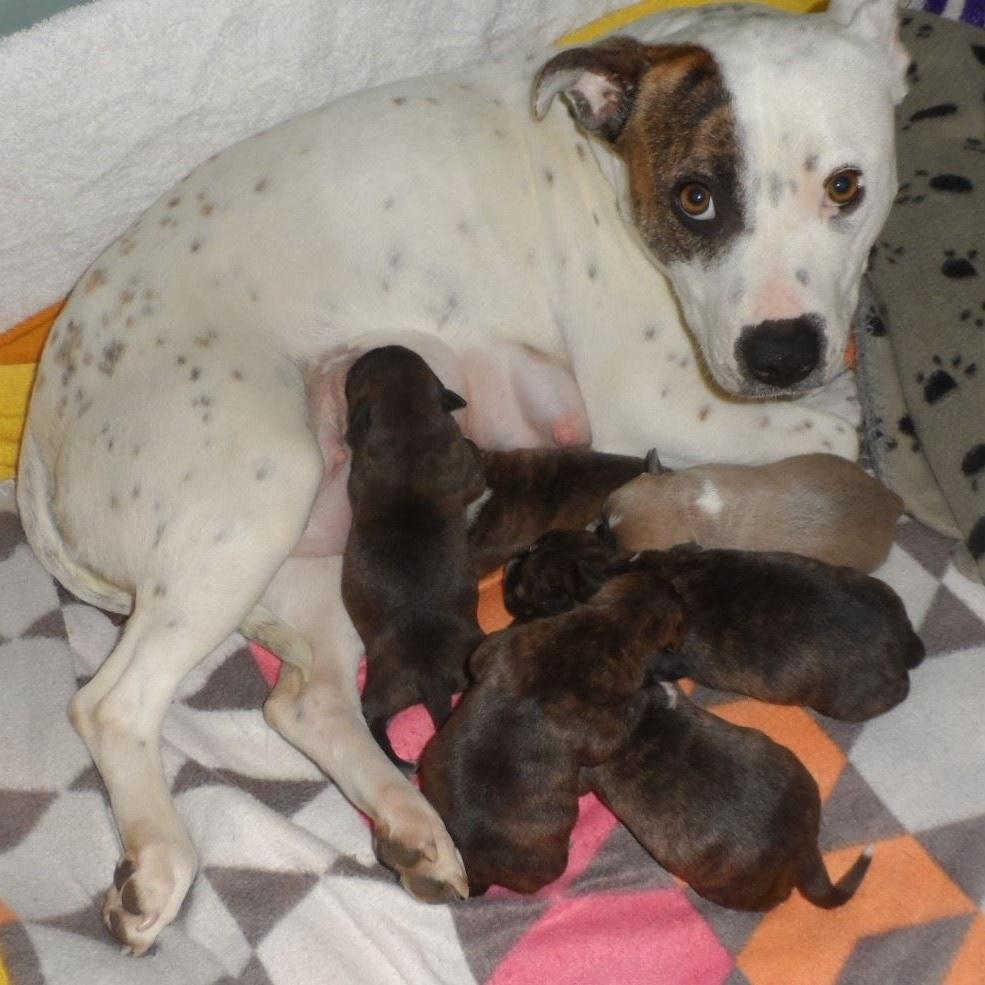 staffy-lily-mum-puppies.jpg
