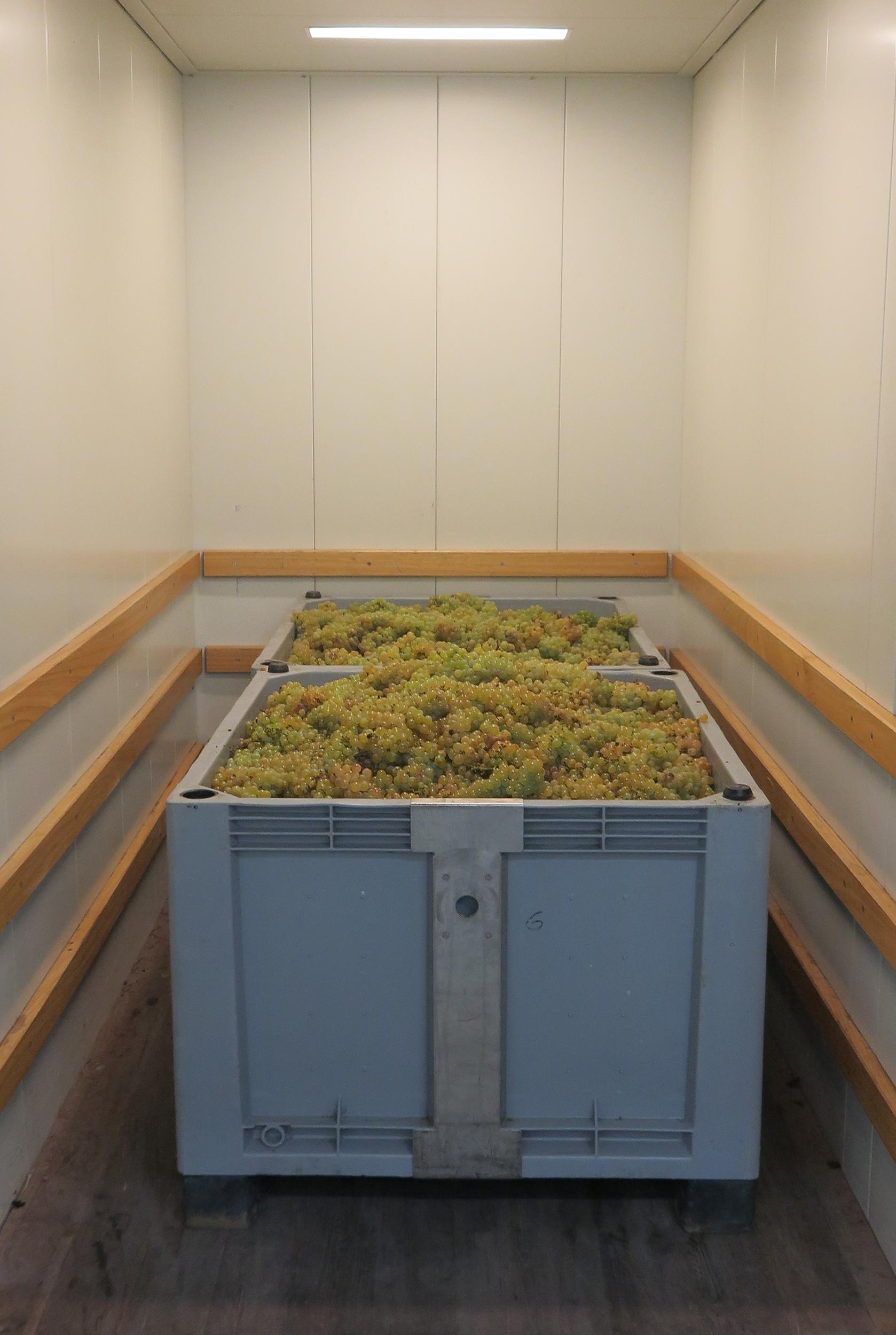 Die Trauben werden von Hand gepflückt und kistenweise in der Kellerei angeliefert