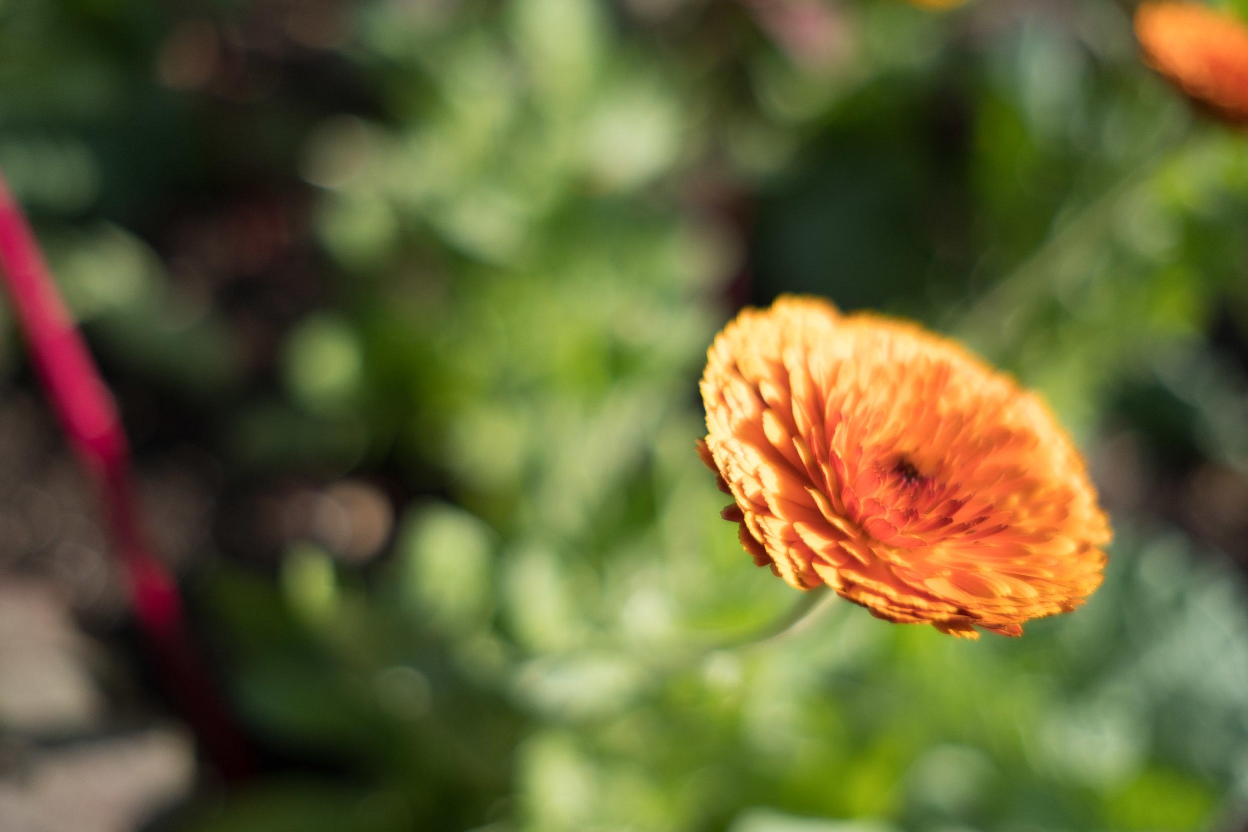 F2, focuses on left-hand petals