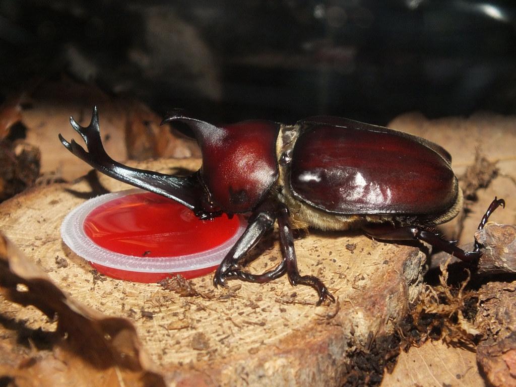 Japanese-Rhinoceros-Beetle-1.jpg