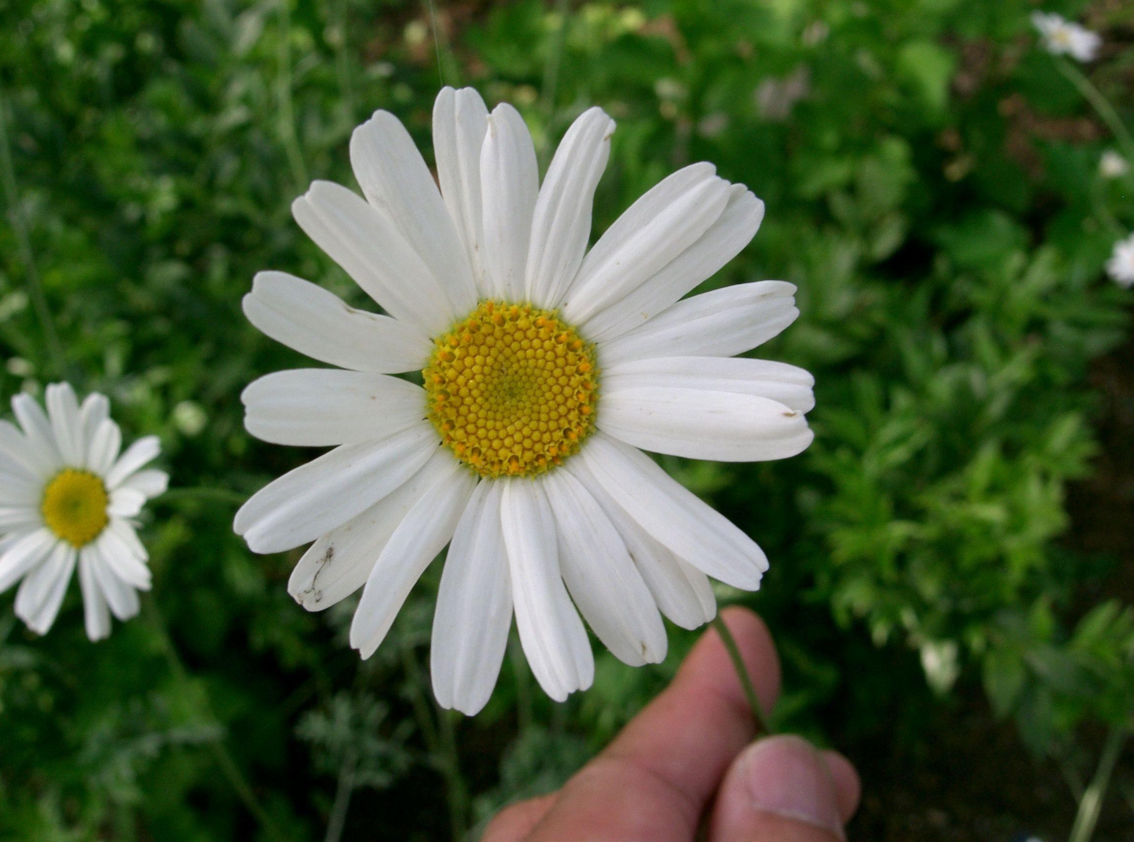 Tanacetum_cinerariifolium1.jpg