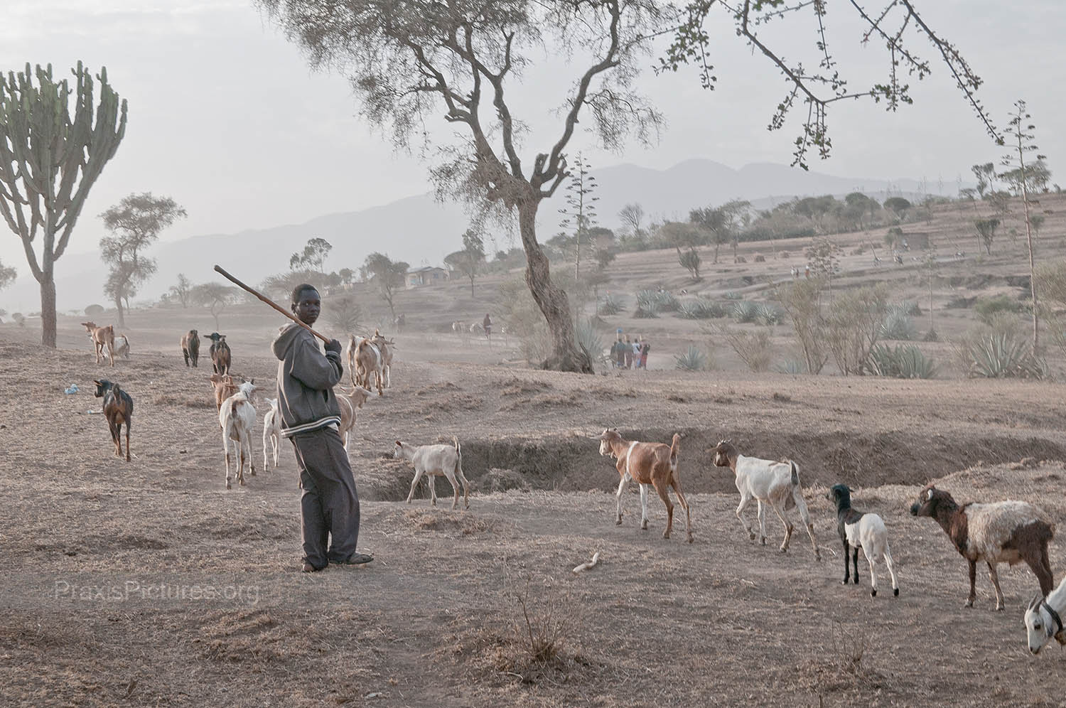 SEARCHING FOR WATER AND PASTURES - What little remains of the communities' livestock are on the move everyday to find grazing land and water.