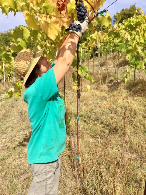 Harvesting grapes in Piedmont