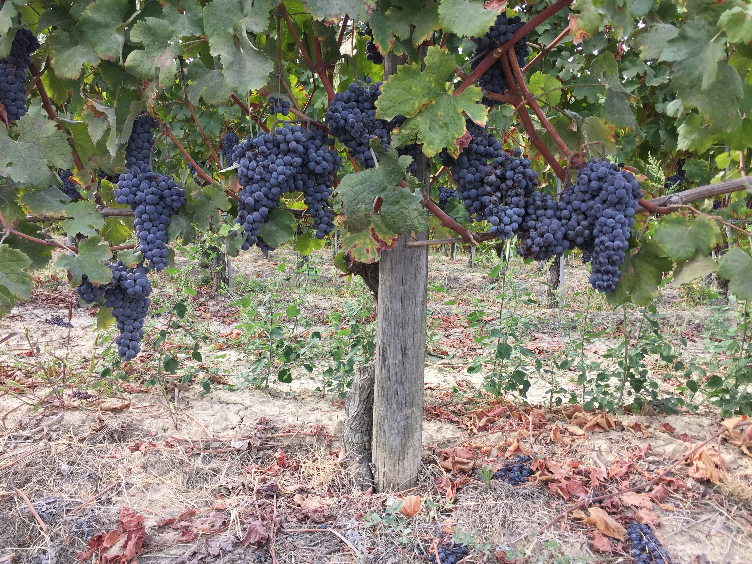 Ripe Nebbiolo grapes during our small group tour to Piedmont