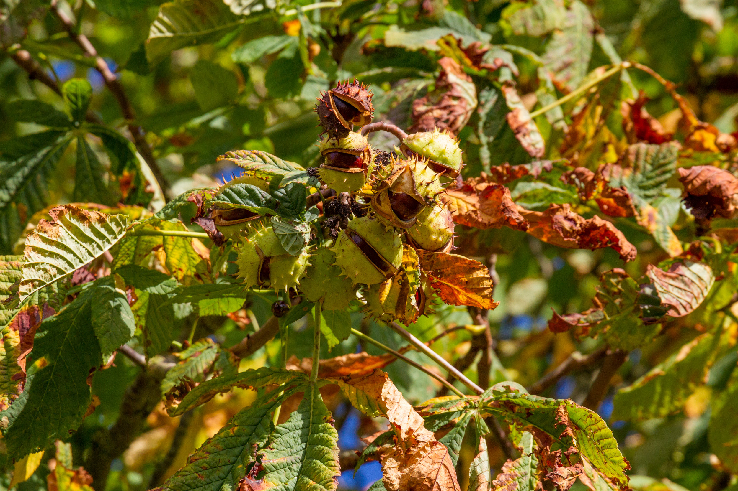Conkers in Gloucestershire