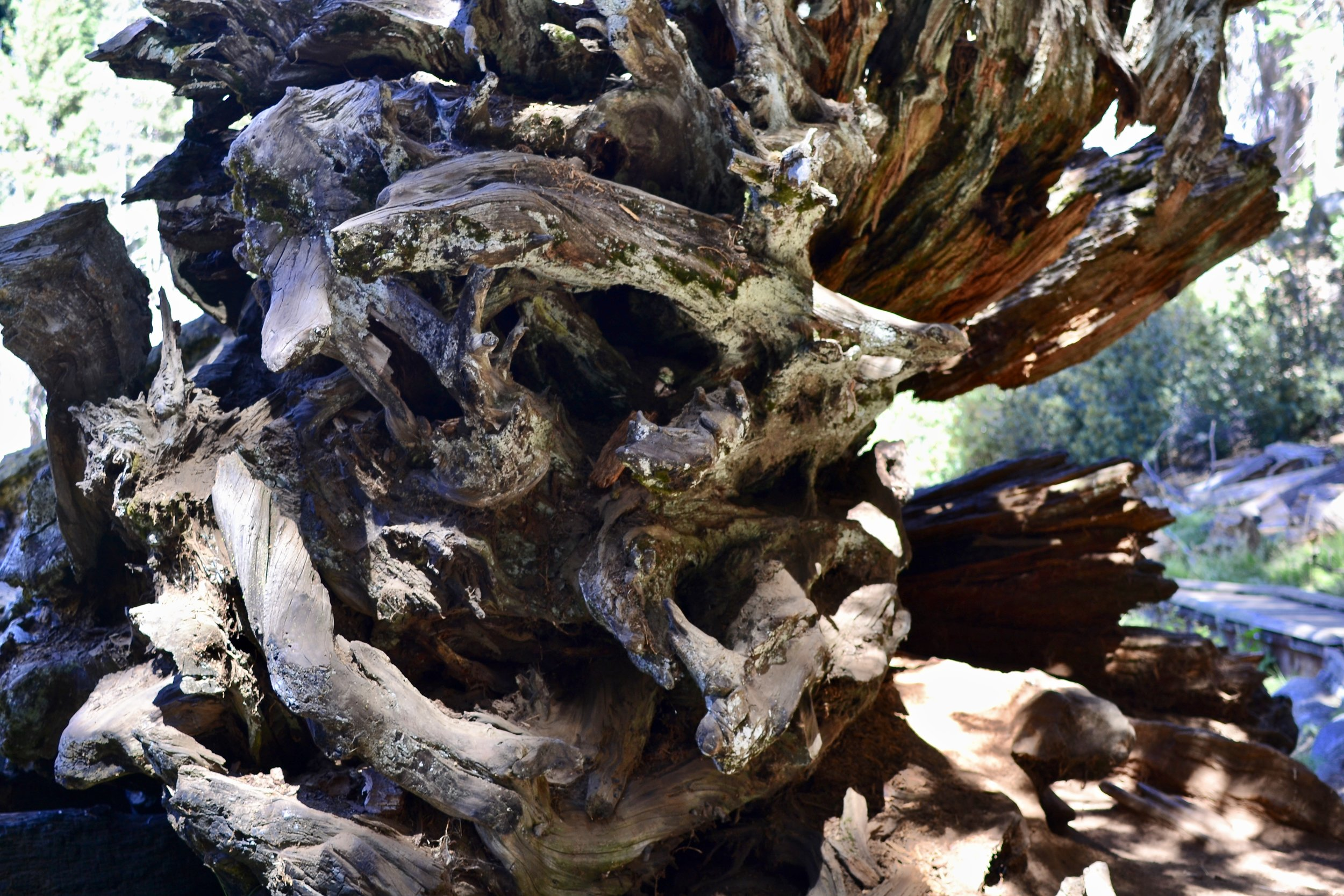 Uprooted Tree Sequoia National Park