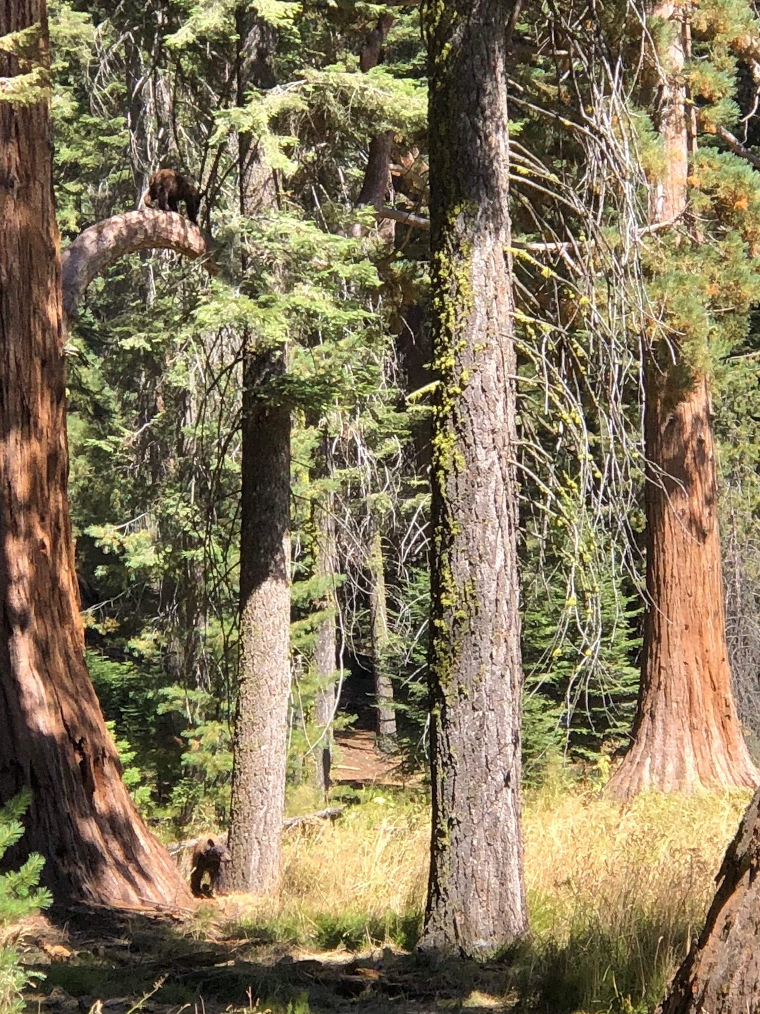 Bears at Sequoia National Park