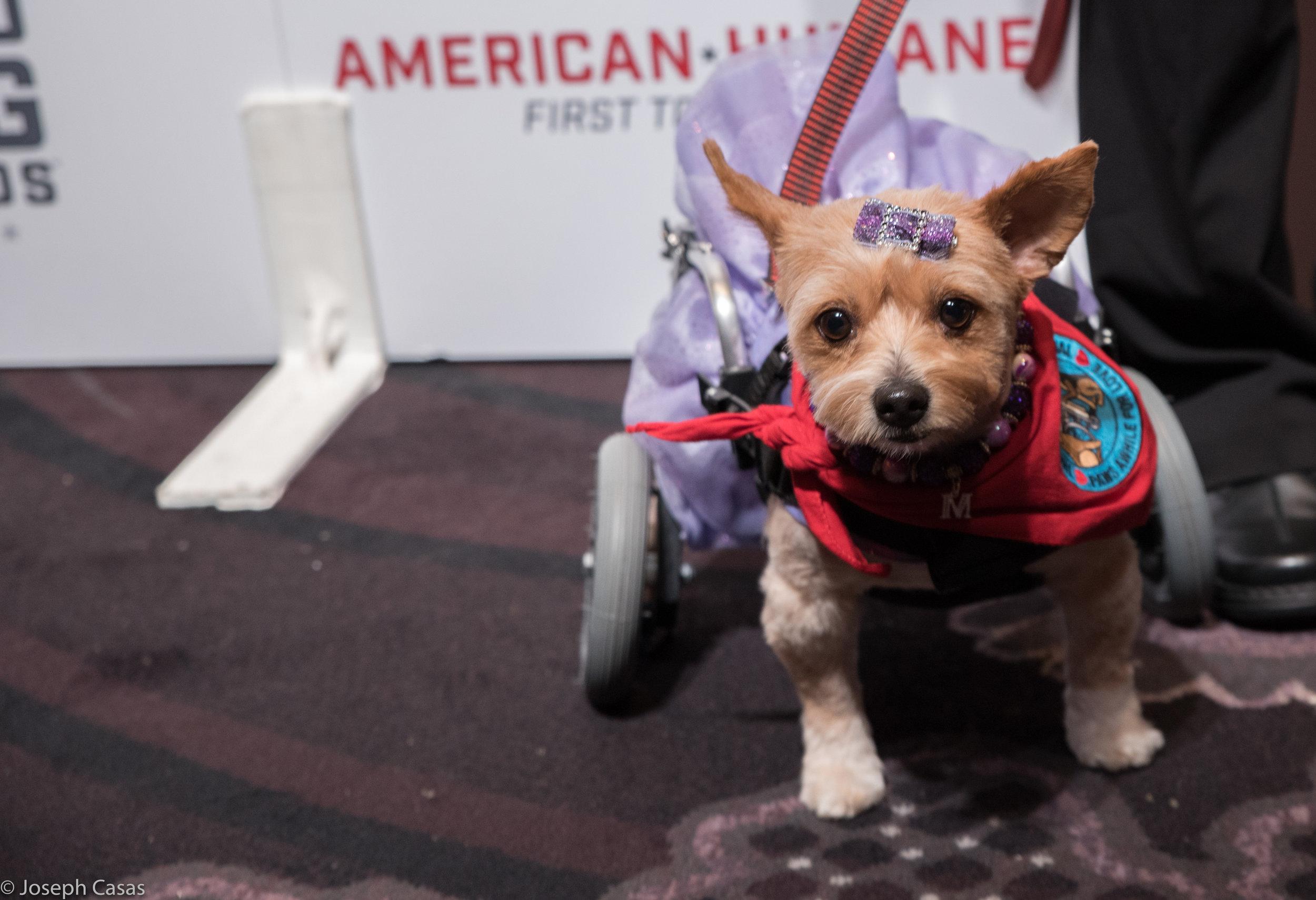 Meet Mango - American Humane Hero 2016