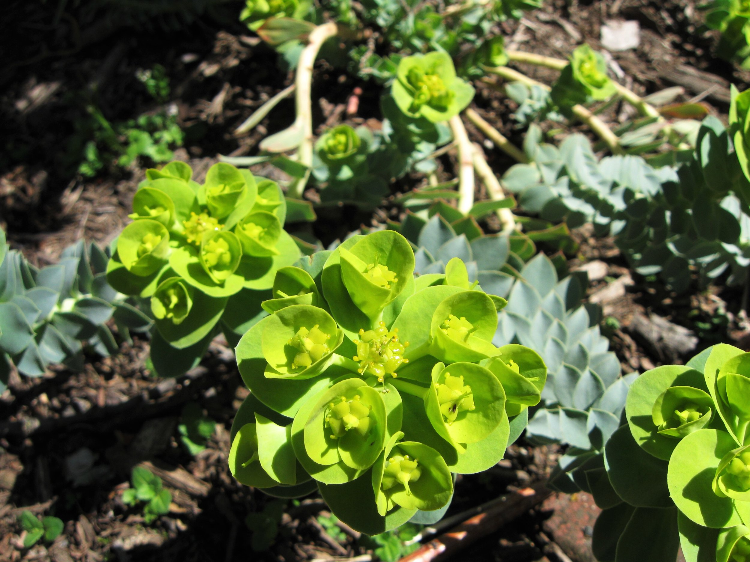 Euphorbia  myrsinites L., a.k.a. Myrtle spurge, which sounds like a character from Anne of Green Gables.