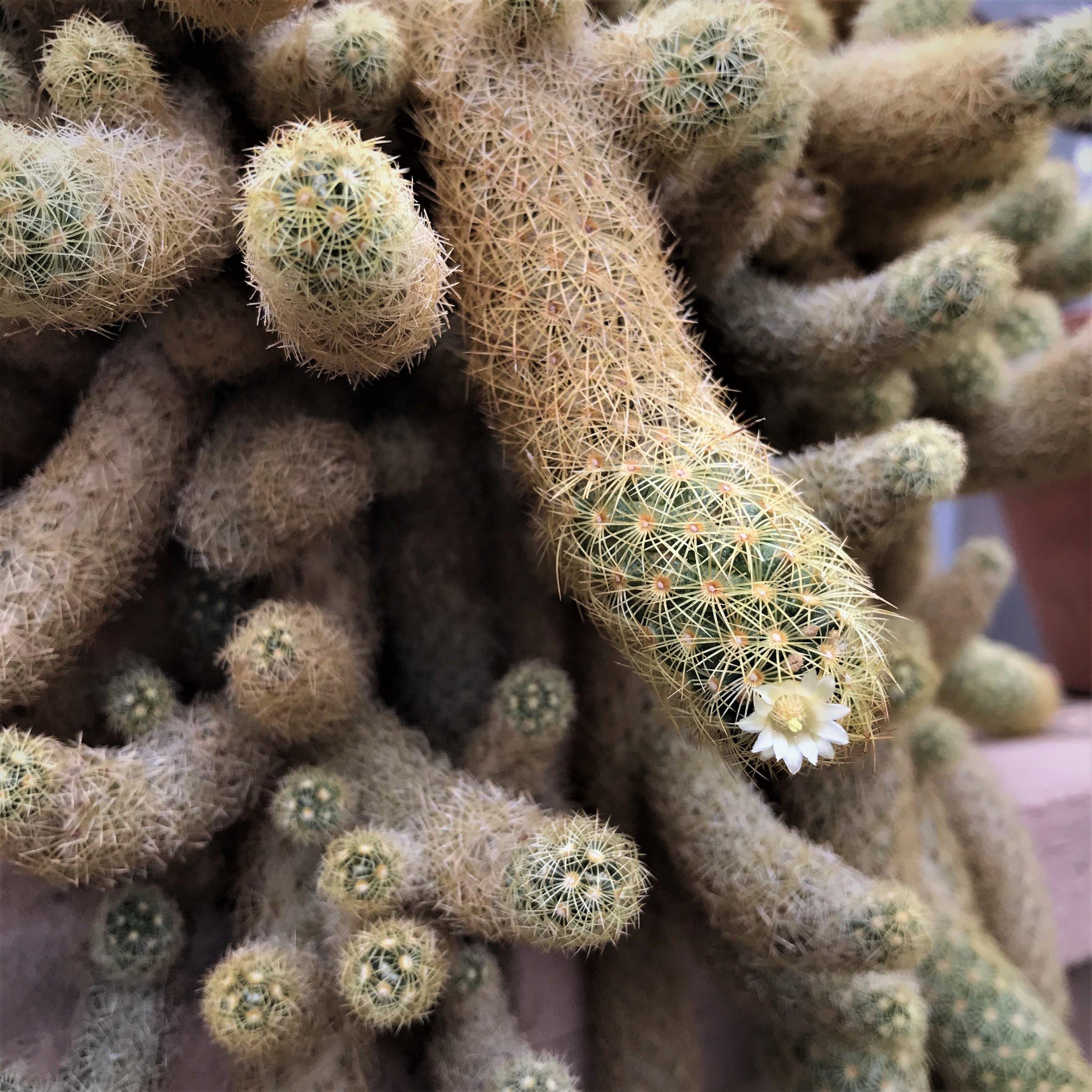 cactus flowering 1.jpg