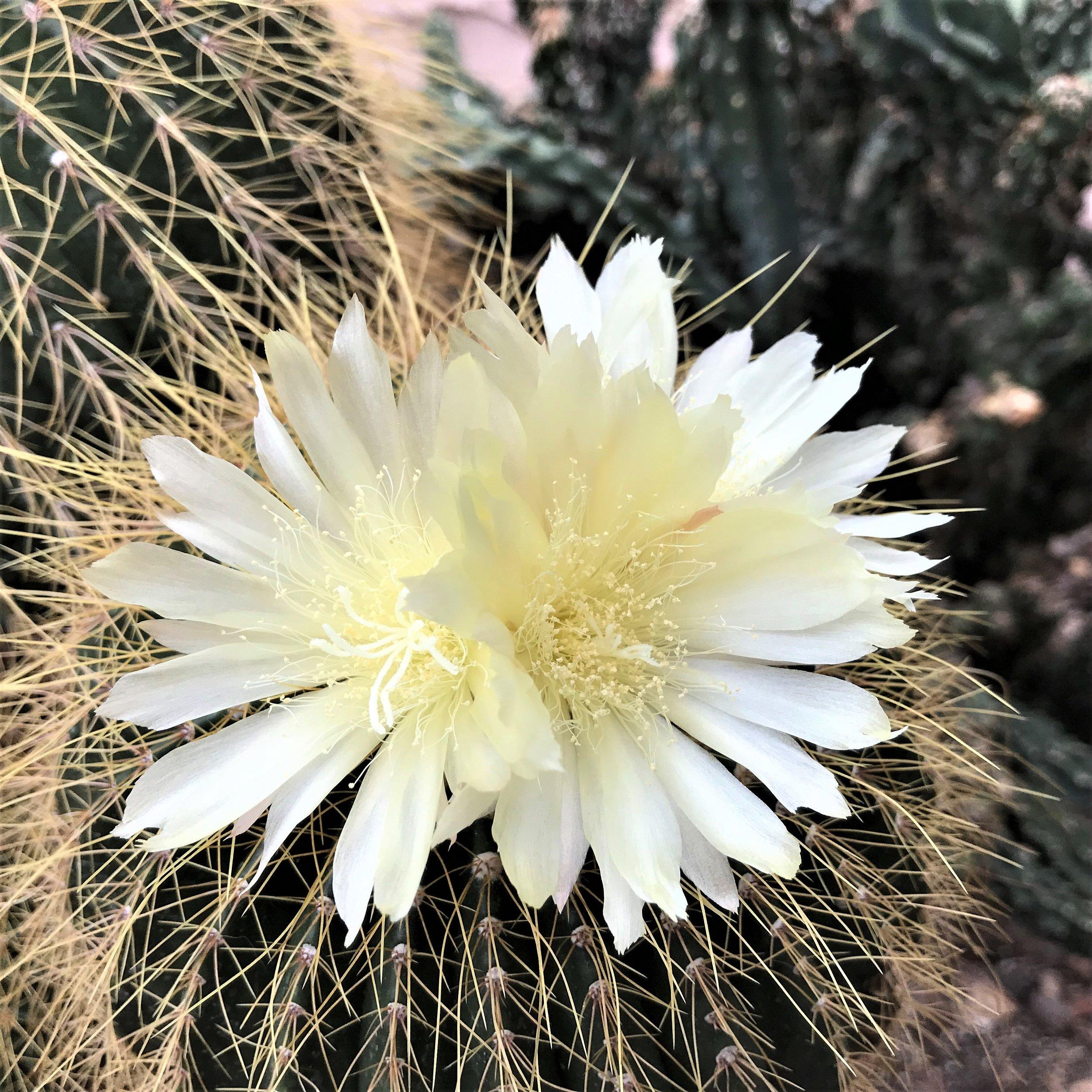 cactus flowering 4.jpg