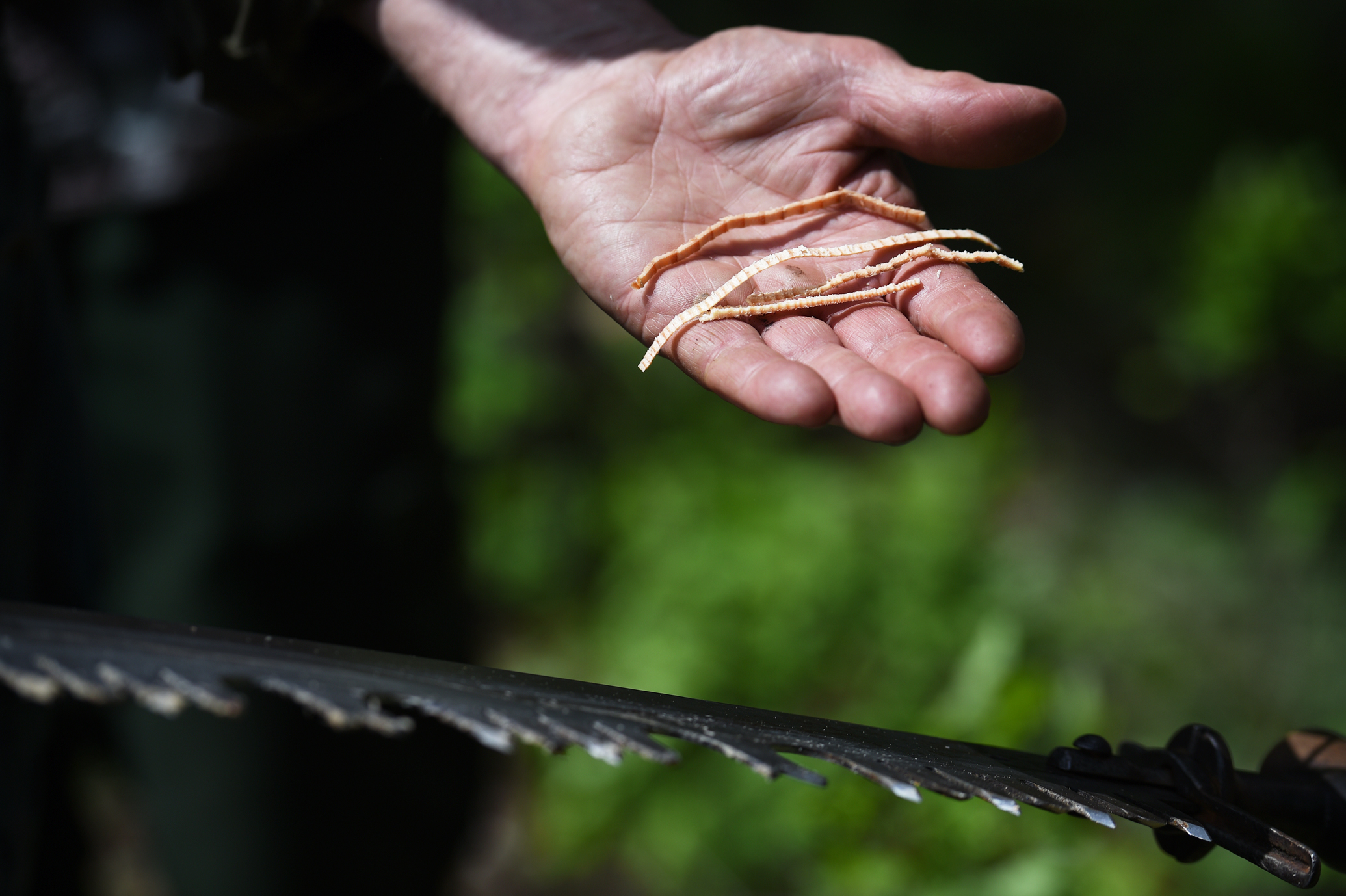 Instructor Bob Beckley displays the wood shavings that proper crosscut practice leaves.
