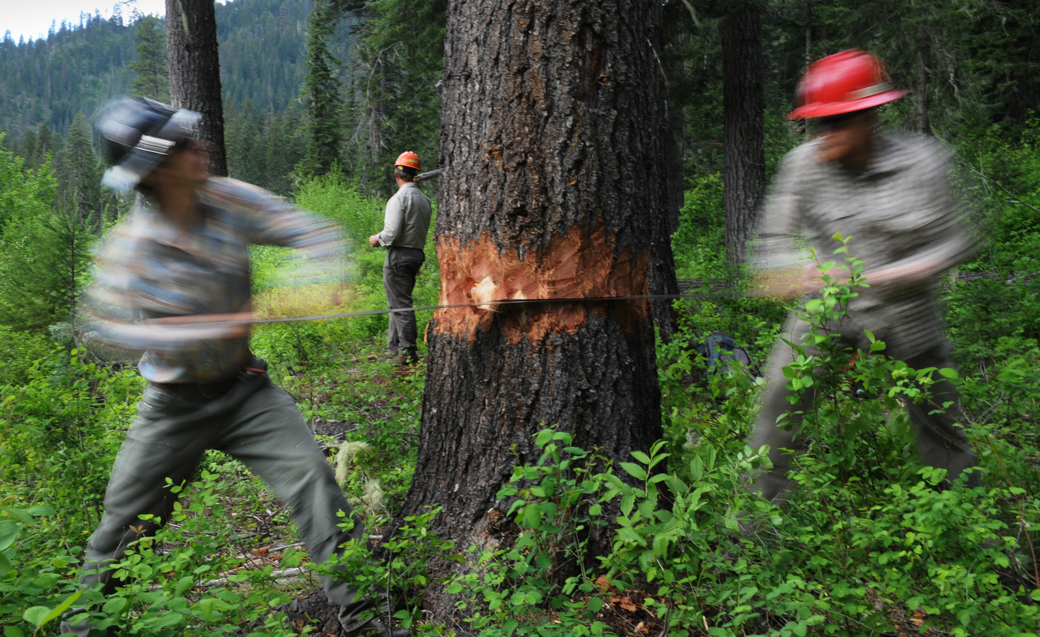 Adam Washebeck, left, and Jeremy Watkins work their way through a fir tree while instructor Tom Wilson, back, discusses crosscut saw instruction.