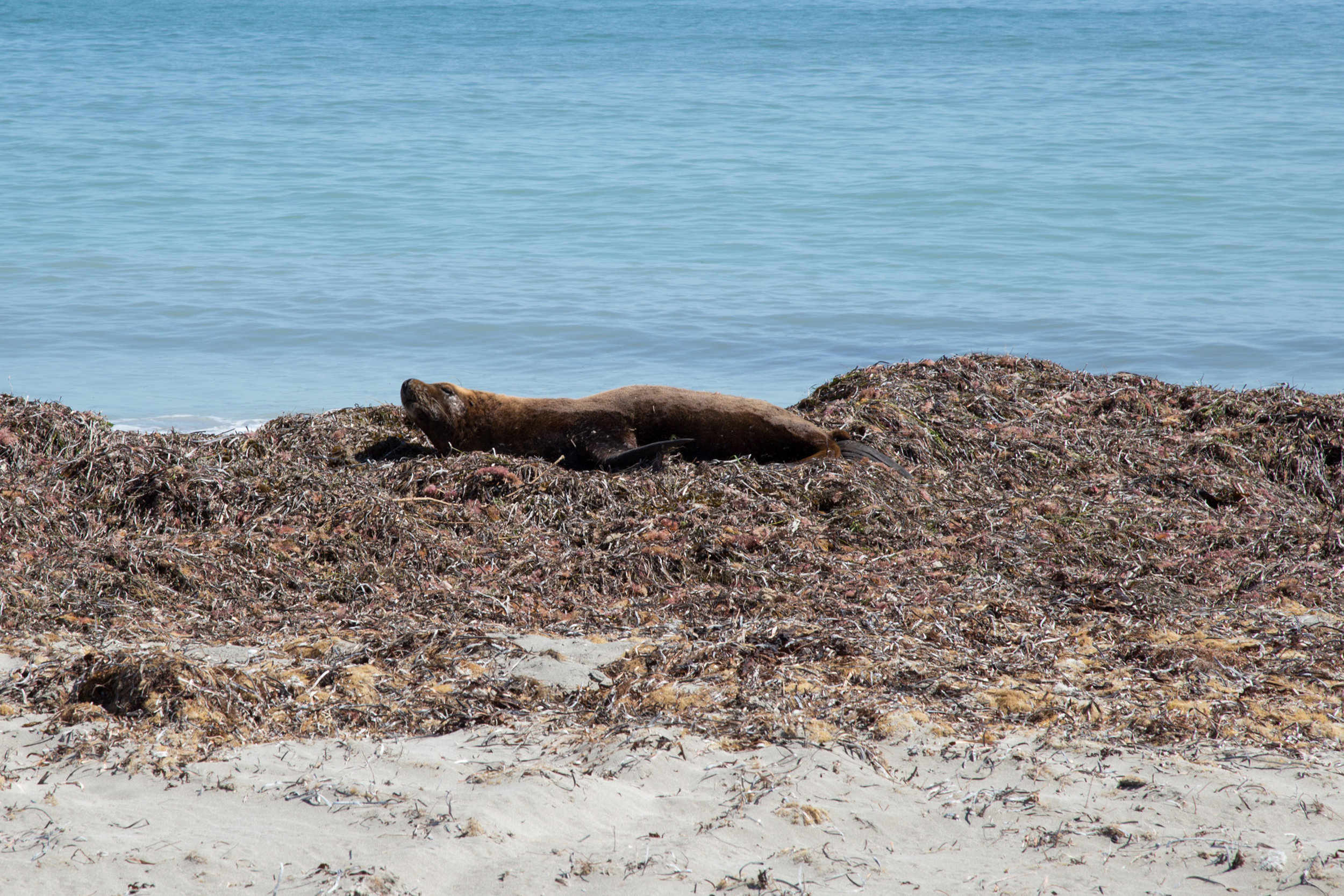 Plate 9: Seal on the beach near Becher Point.