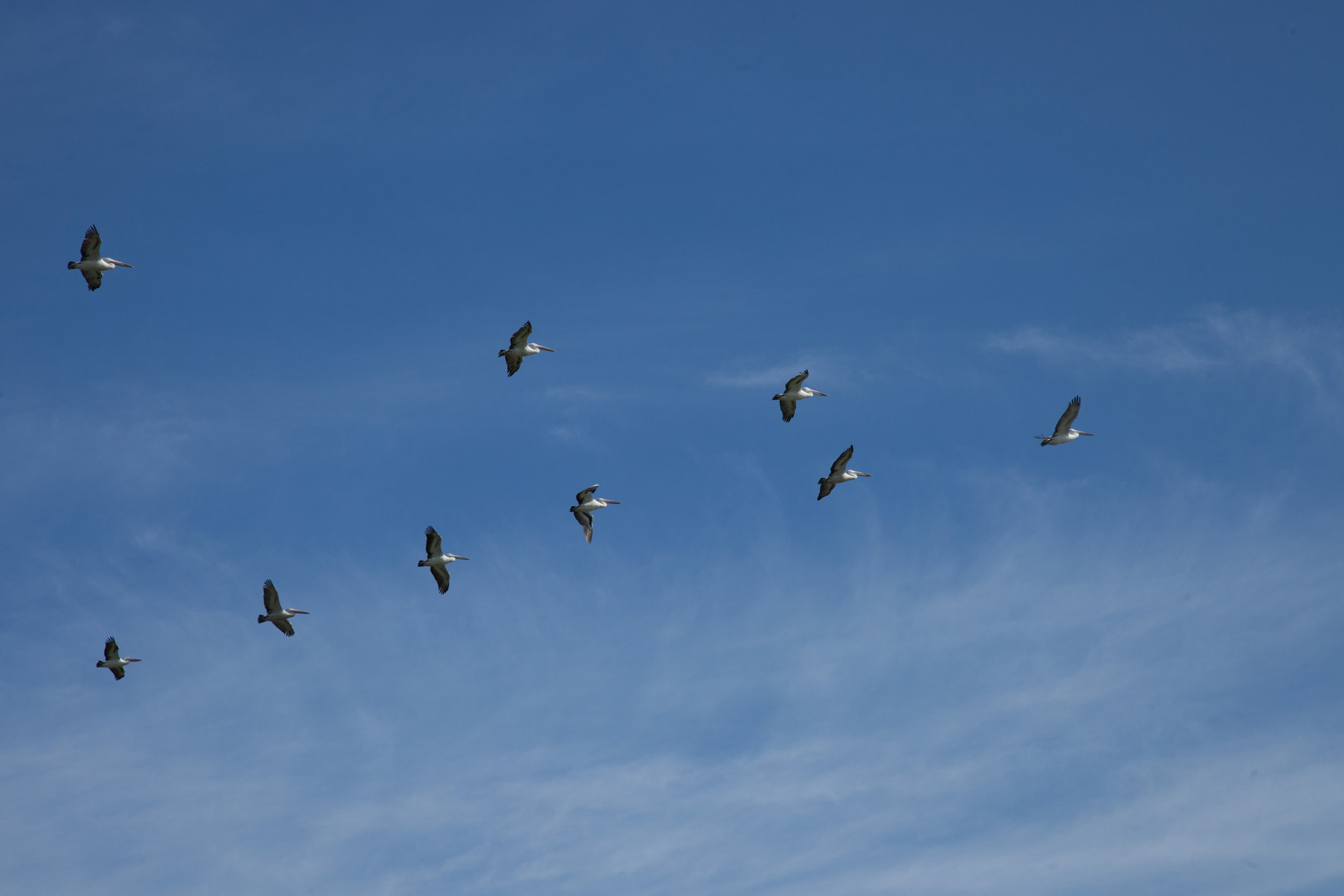 Plate 22: Some of the many pelicans flying over the area.