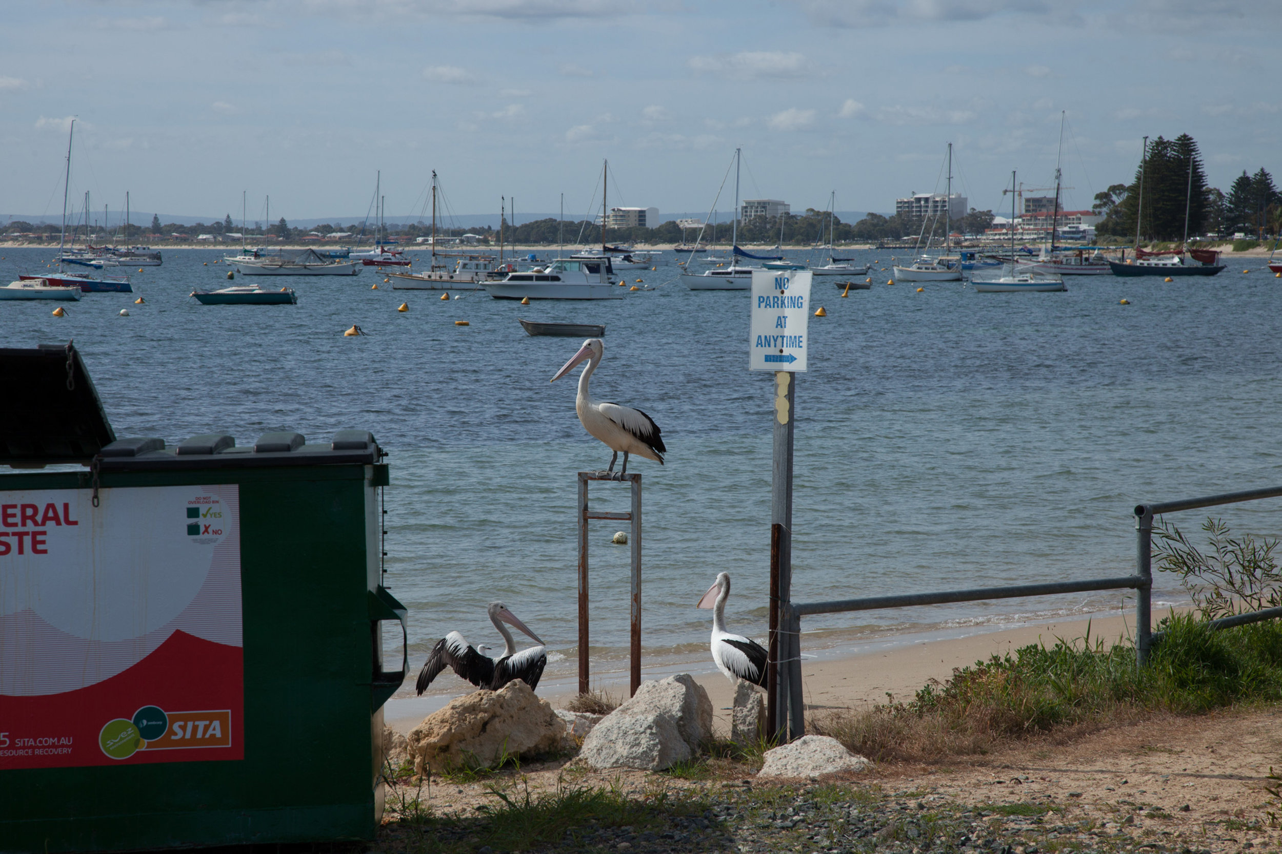 Plate 23: Some of the many pelicans near the boat club.
