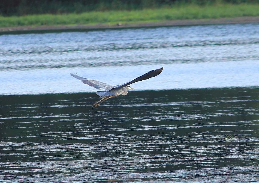Heron on Lake Lamoille, Morrisville