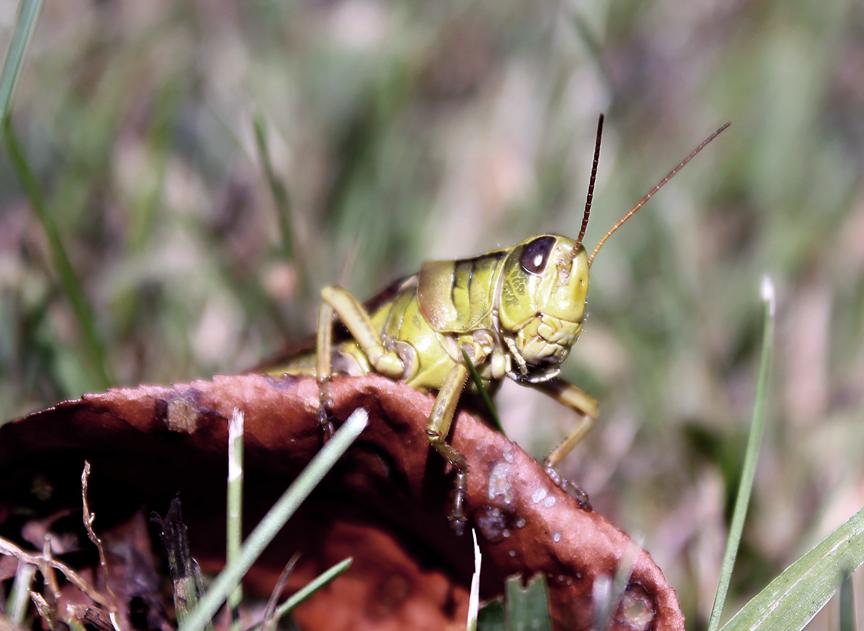 Johnson Grasshopper