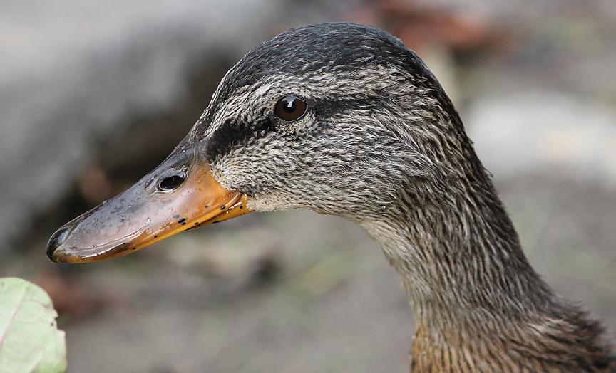Johnson Duck
