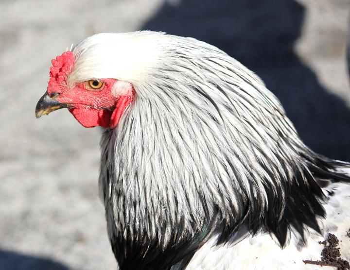 Happy Morrisville Chicken