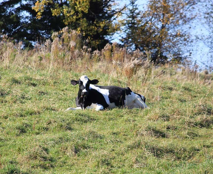 Craftsbury Cow