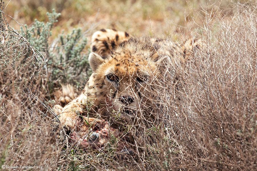 Kushki; An Asian cheetah