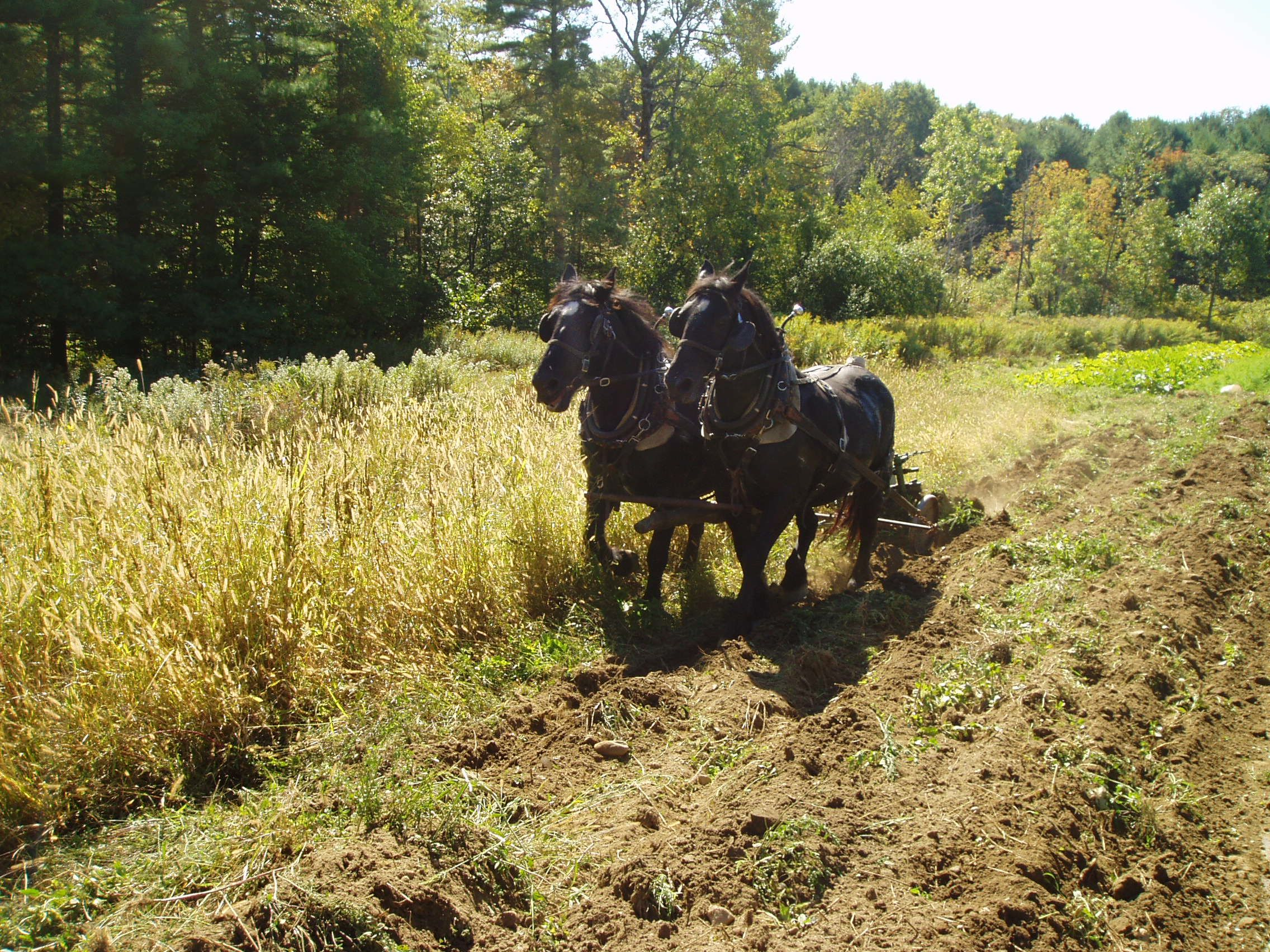 Betsy and Belle Discing in Cover Crop.jpg