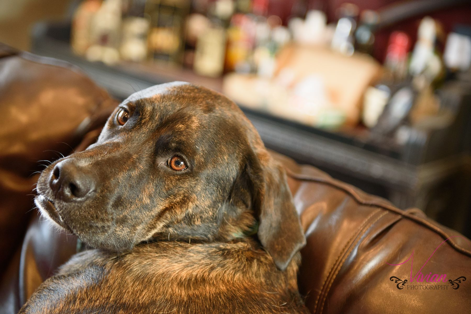 brown-dog-lounging-on-brown-leather-couch.jpg
