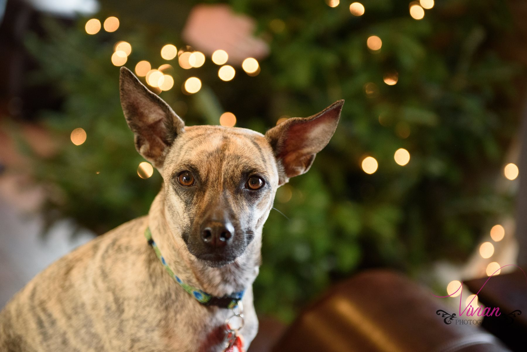 close-up-small-dog-in-front-christmas-tree.jpg