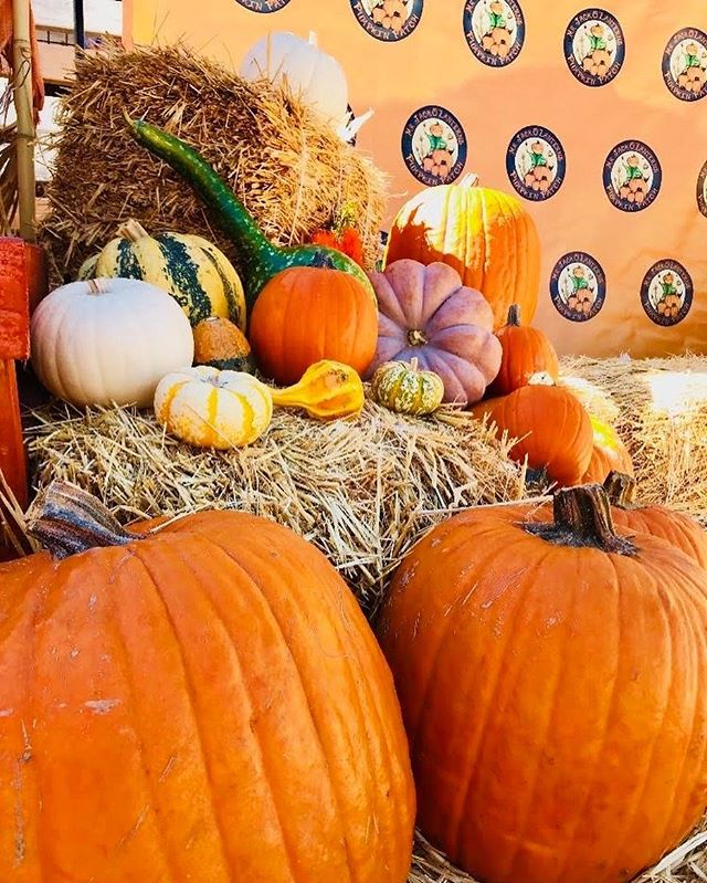 ❗️FUN FACT❗️: Uncarved pumpkins can last up to 12 weeks!! Come visit us on October 5th and stock up on a variety of pumpkins that will last you all season long!