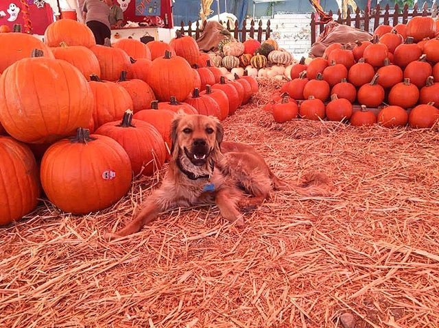 I spy the cutest pumpkin in the patch!🐶 Mr. Jack O' Lanterns is dog friendly so come visit us without having to leave your furry friend behind!