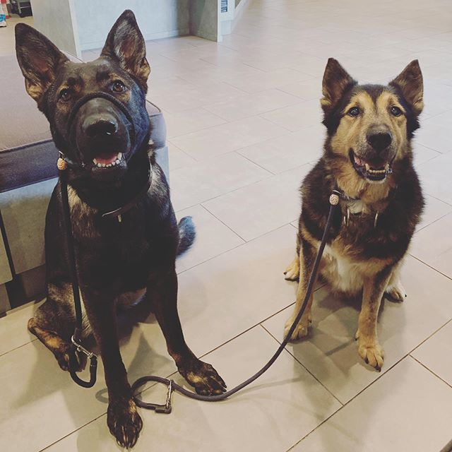 Dodger brought his friend Tati with him to the vet today. Dodger is having his checkup but thought this would be a great place for training his gal pal Tati! After this, the Beach! 🏖 #germanshepherd #gsd #dog #dogtraining #dogbehavior