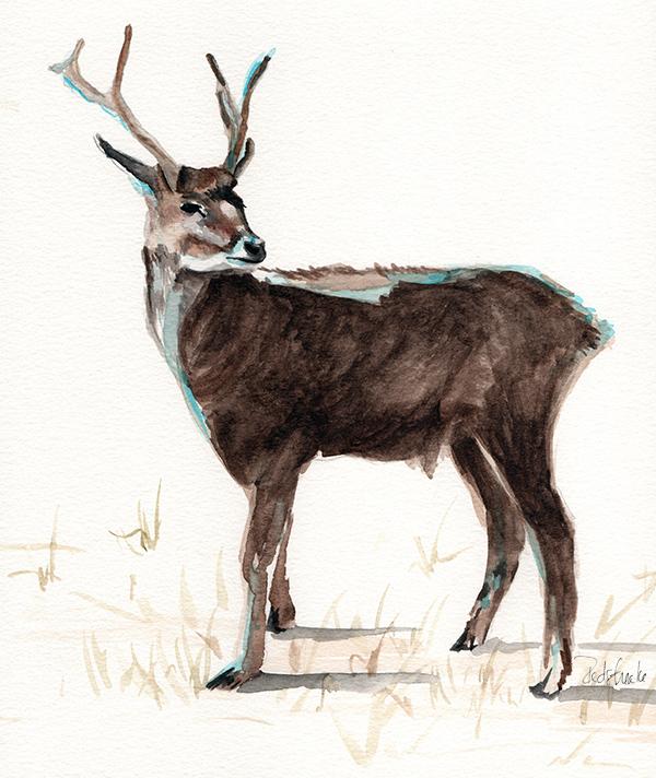 redstreake_deer_wc.jpg