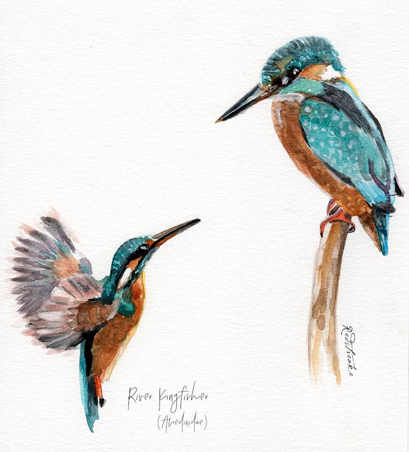 kingfisherbirds_redstreake.jpg