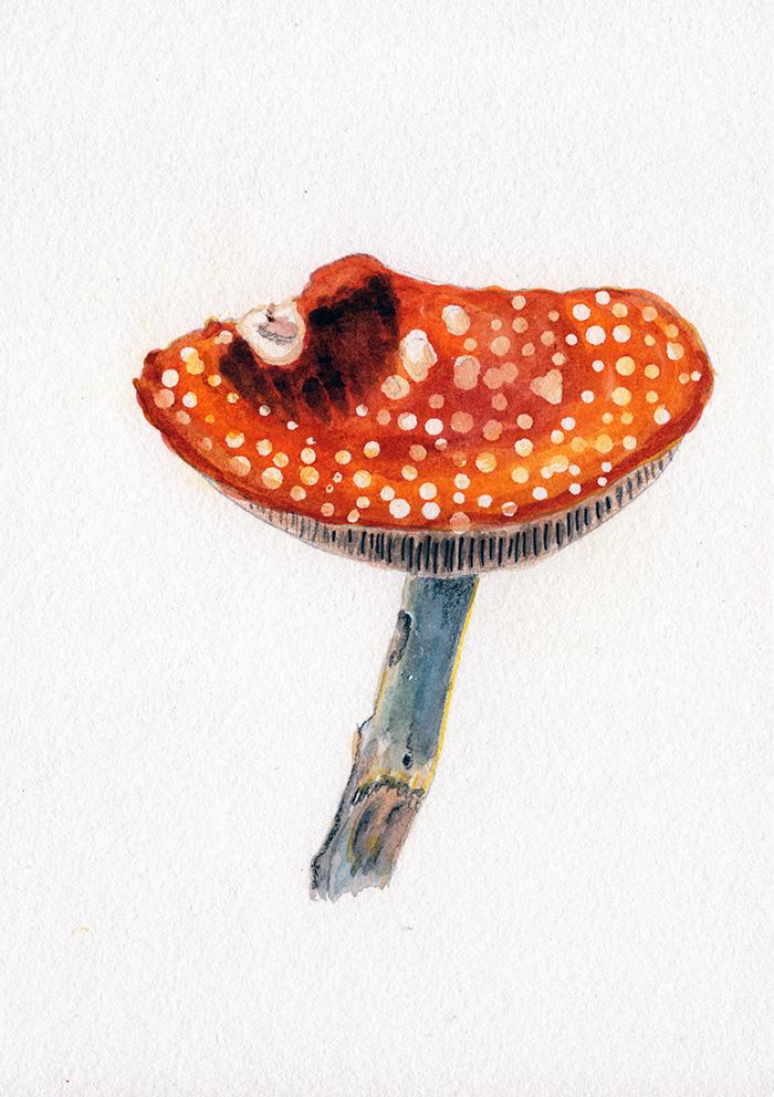 mushroom_redconvextop.jpg
