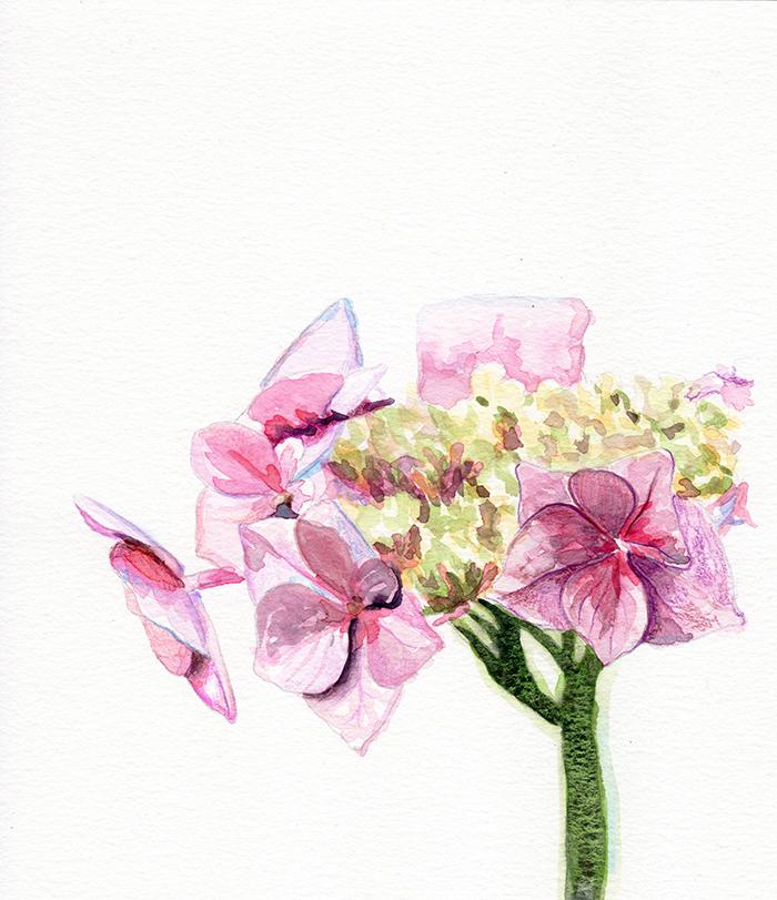 hydrengia_blooming.jpg