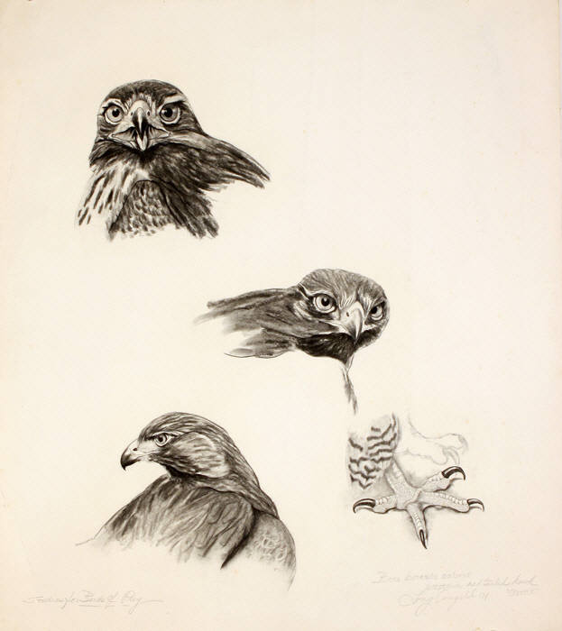 Western Redtailed Hawk
