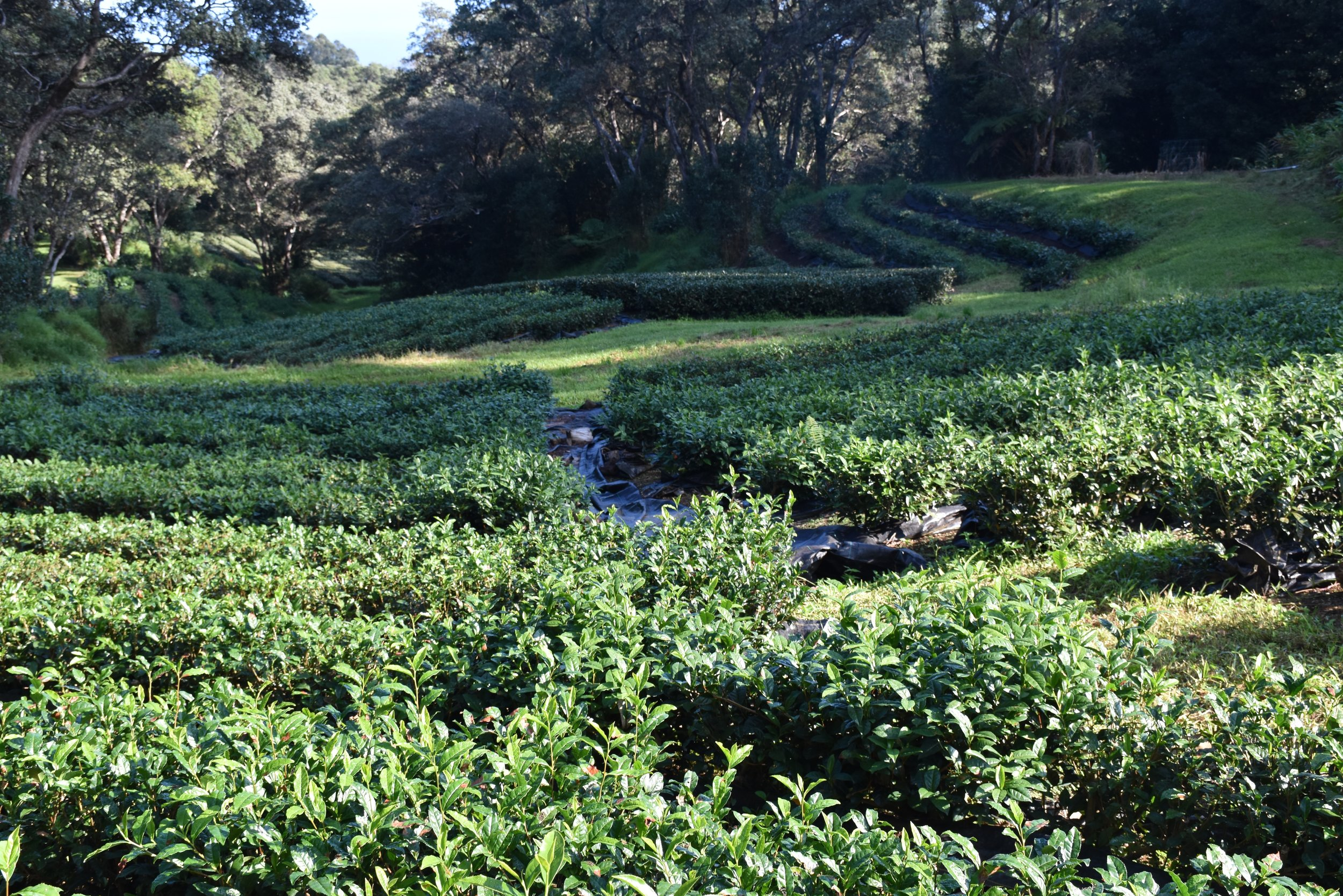 The Tea Fields at Mauna Kea Tea Farm